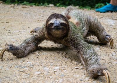 Island_Plantation_BocasdelToro_sloth